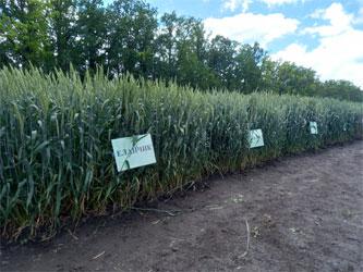 делянки с сортами озимой пшеницы