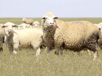 порода овец – артлухский меринос