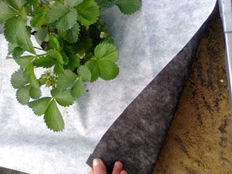 агроволокно под клубникой
