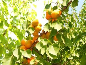 урожай абрикос