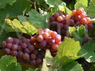 урожай винограда на Кубани