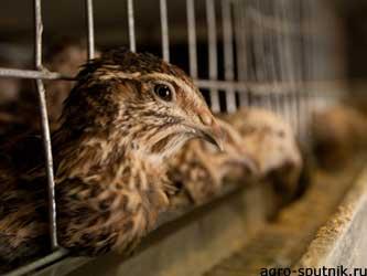 кормление сельскохозяйственной птицы